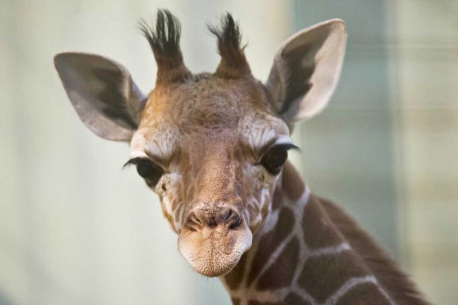Les Sud-Africains pourraient manger de la girafe alors... (PHOTO NICOLAS ARMER, ARCHIVES AFP)