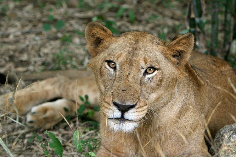 Un lion a tué un employé mercredi dans un parc animalier privé du... (Photo: AP)