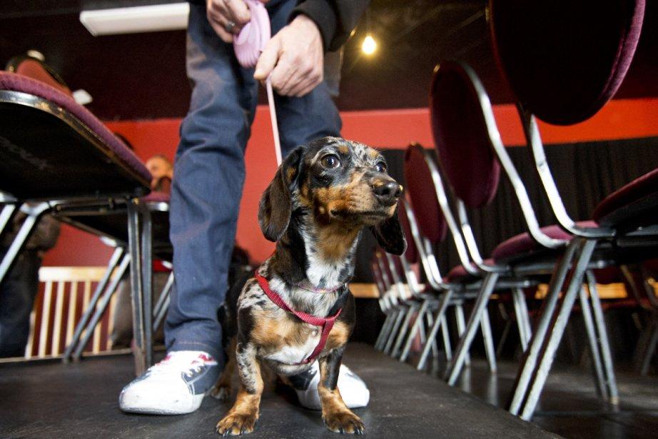 Auditions pour chiens teckels pour le FTA devant... (Photo: Robert Skinner, La Presse)