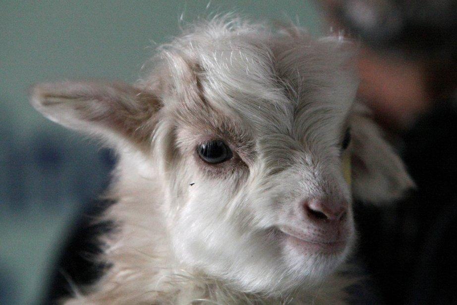 La laine est prélevée sur le cou de... (Photo : archives AFP)
