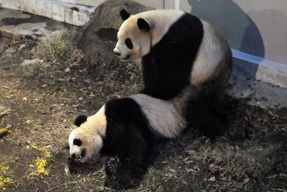 Les deux pandas géants du zoo de Tokyo se sont accouplés lundi... (Photo AFP)