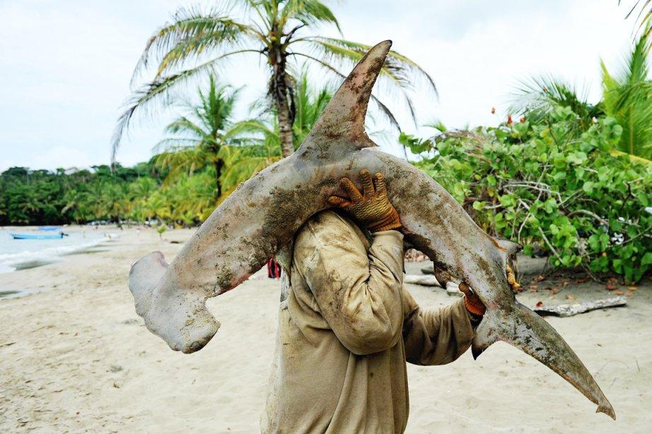 Le commerce planétaire des requins océaniques, trois requins-marteaux... (PHOTO YURI CORTEZ, AFP)
