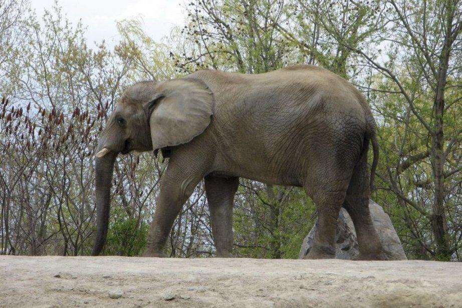 Thika est l'un des trois éléphants du Jardin... (Photo Pat Hewitt, La Presse Canadienne)