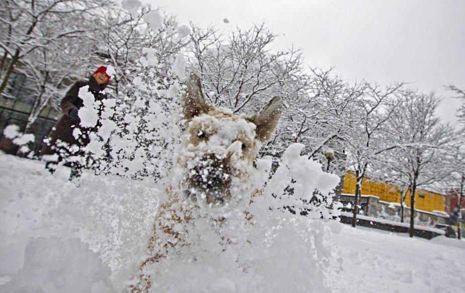 Charlotte, un Wheaten Terrier de 6 ans, s'extasie dans la neige lors d'une des dernières bordées de l'année. | 22 mars 2013