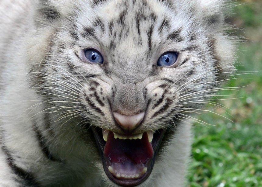 Un jeune tigre blanc du Bengale né en captivité au zoo de Buenos Aires | 22 mars 2013