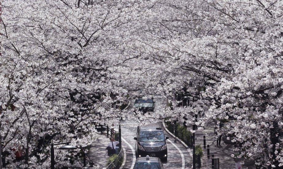 Les cerisiers en fleurs à Tokyo | 22 mars 2013