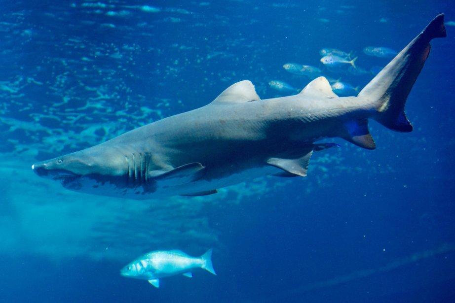Trois attaques de requins, dont deux mortelles, ont... (PHOTO STEFAN SAUER, ARCHIVES AFP)