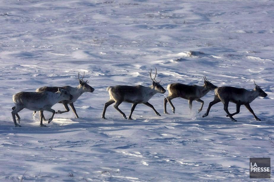 Des caribous, photographiés dans le Nunavut.... (Photo: archives PC)
