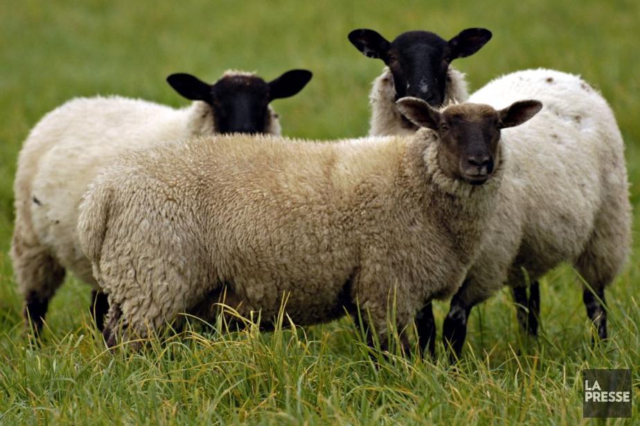L'éco-pâturage consiste à utiliser des animaux pour entretenir... (Photo: Bernard Brault, archives La Presse)