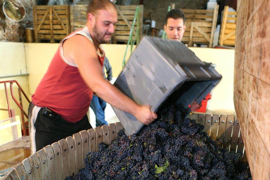 La vinification des bourgognes rouges dite en grappes entières,... (Photo AFP)