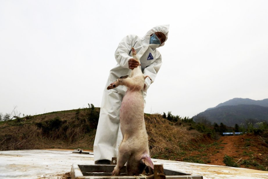 En tout plus de 16000 porcs ont été... (PHOTO AP)