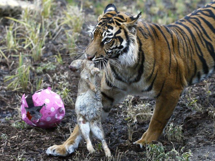 C'est aussi Pâques pour ce tigre qui vit dans un zoo londonien! Il a eu droit à un lapin mort servi dans un emballage aux couleurs pascales! | 31 mars 2013