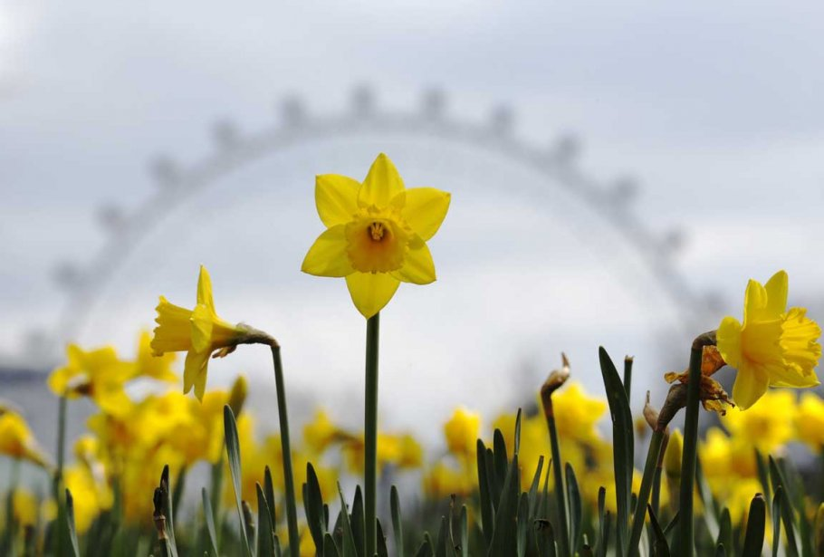 Un narcisse se dresse avec la grande roue de Londres en arrière-plan | 8 avril 2013