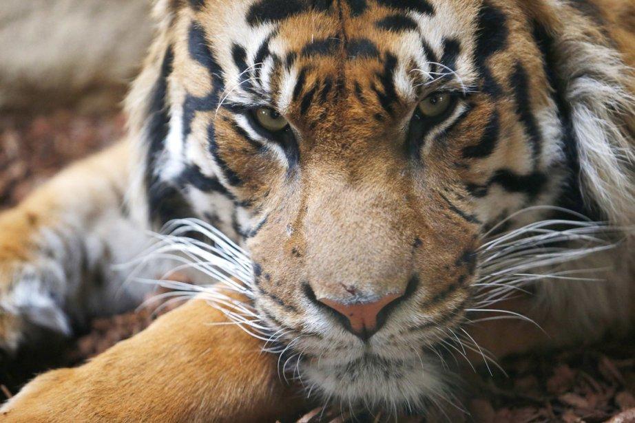 Jae Jae, un tigre de Sumatra au zoo de Londres. | 8 avril 2013