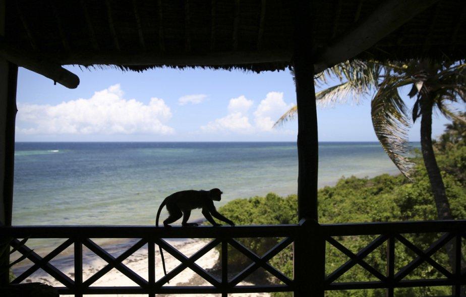Un singe rampe le long d'un balcon près de la plage de Diani. | 10 avril 2013