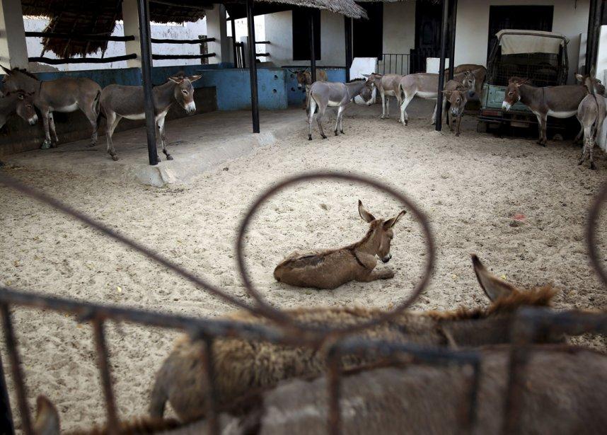 Un hôpital pour ânes sur l'ile de Lamu.  Il n'y a pas de route sur la petite ile de l'Océan Indien, l'âne y est donc le moyen de transport de prédilection. | 10 avril 2013
