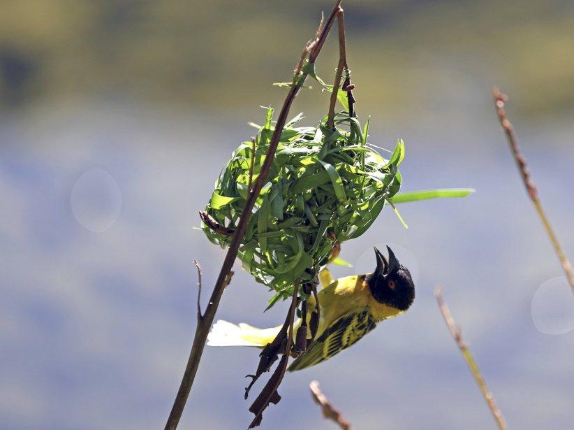 Un oiseau fabrique son nid sur l'ïle de Lamu. | 10 avril 2013