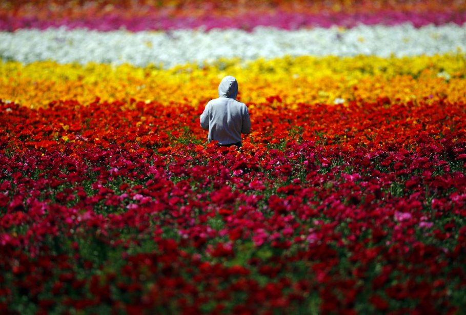 Un travailleur à l'oeuvre dans un champ de fleurs à... | 2013-04-12 00:00:00.000