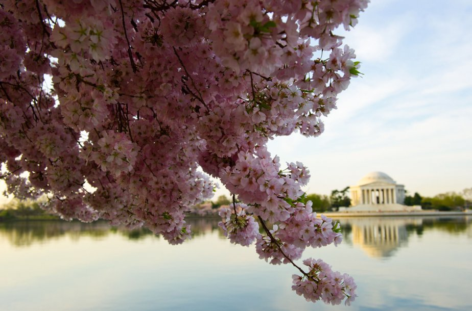 Un cerisier en fleurs à Washington | 12 avril 2013
