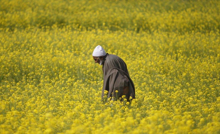 Un champ de moutarde en fleurs au cachemire indien | 12 avril 2013