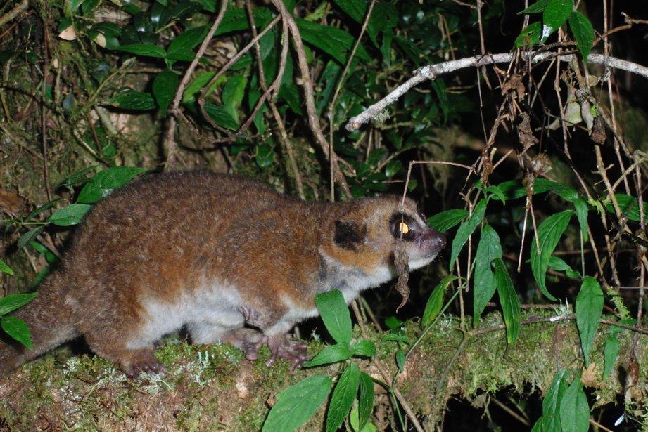 Les lémuriens nains (genre Cheirogaleus) de l'est de... (Photo Agence France-Presse)
