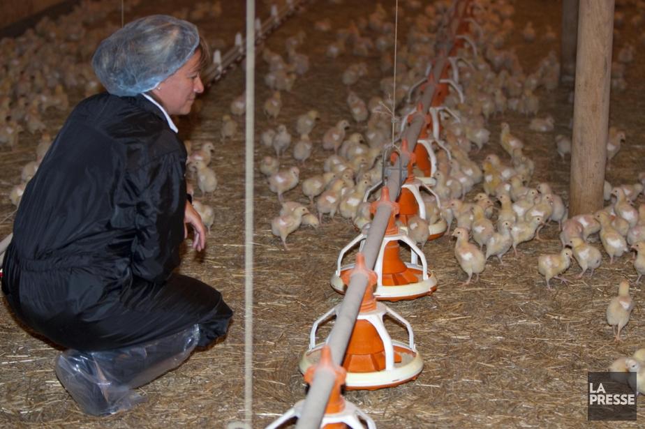 Dans l'élevage de poulets, le retrait des facteurs... (Photo Alain Roberge, archives La Presse)