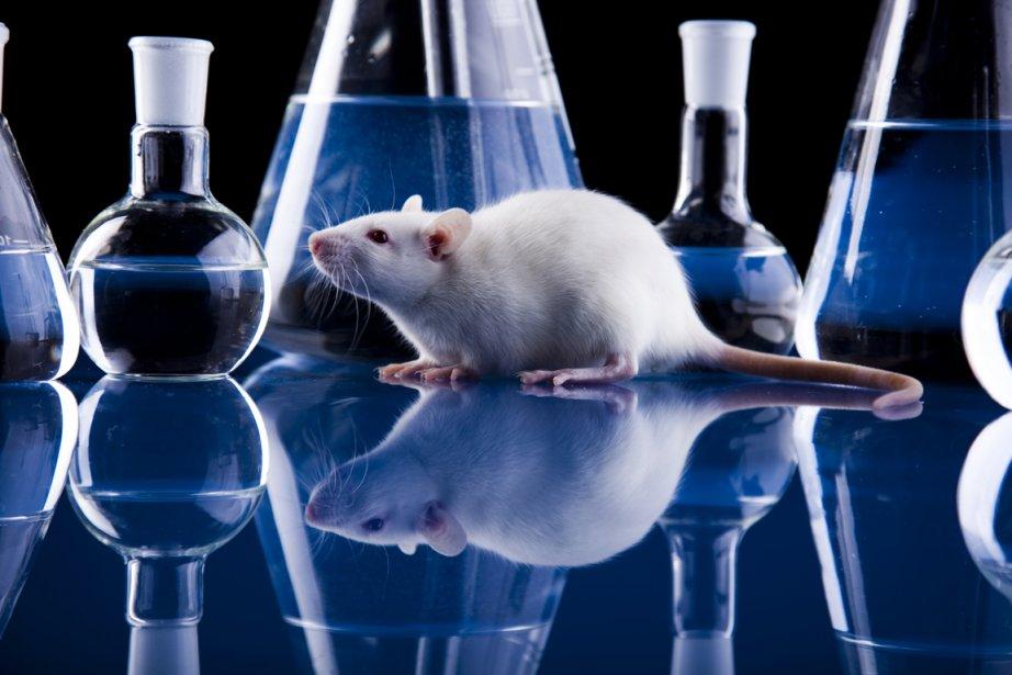 Un vaccin expérimental testé chez des rats, qui... (PHOTOTHÈQUE LA PRESSE)