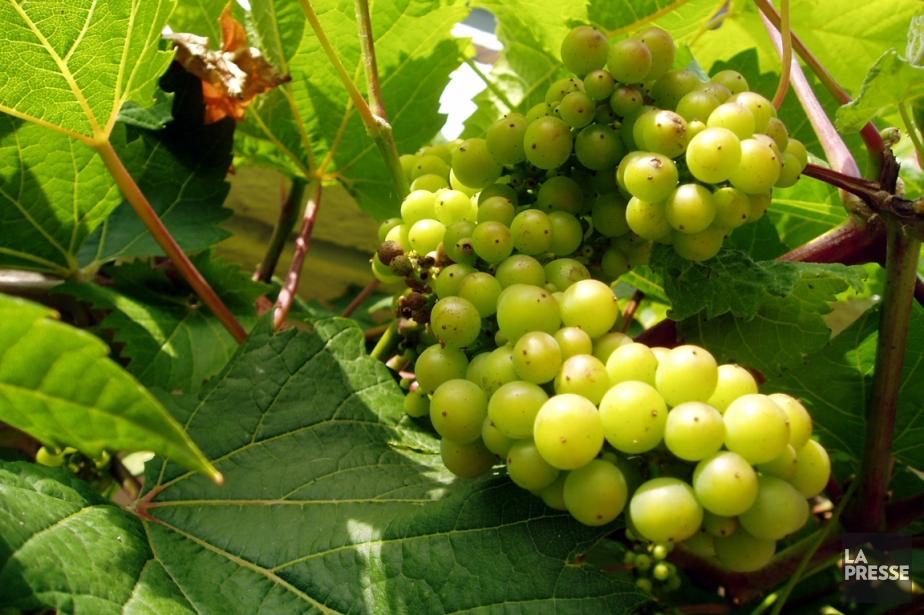 Le sait-on? ... Le quart du vignoble de Chablis... (Photothèque La Presse)