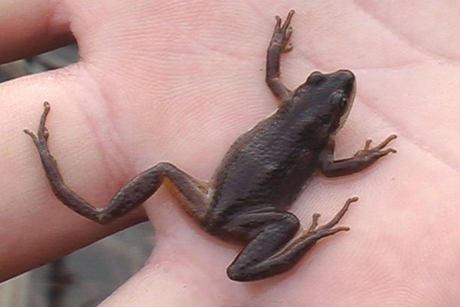 La rainette faux-grillon, une minuscule grenouille, risque la... (Photo fournie par Tommy Montpetit)