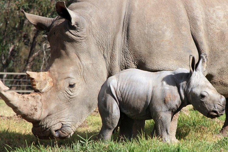 Le bébé, un mâle de 50 kilos qui... (Photo: AFP)