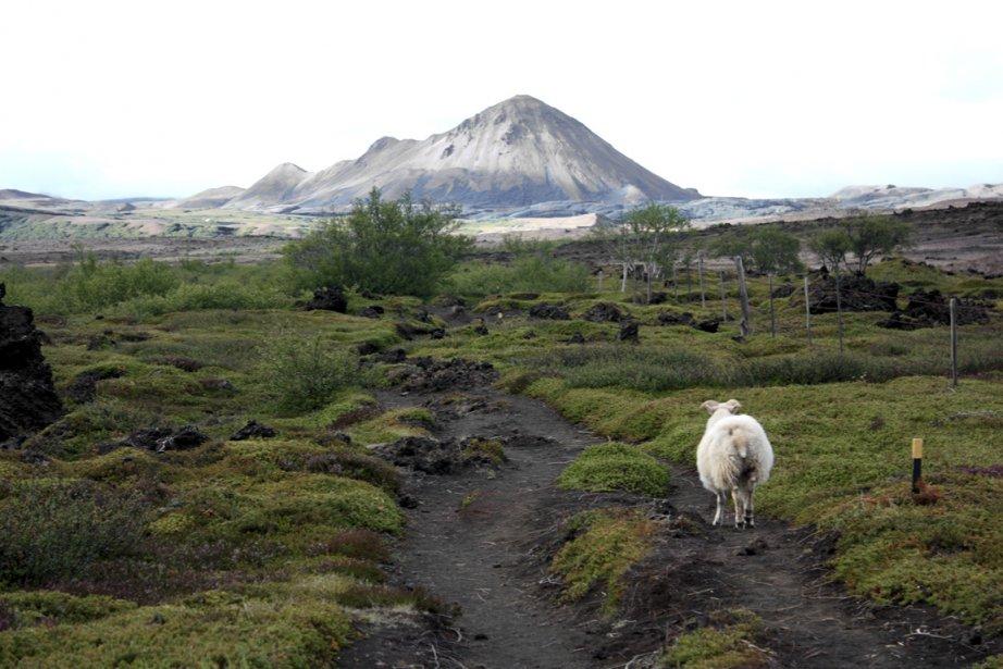 Les moutons escortent parfois les randonneurs en route vers la montagne. (PHOTO SYLVAIN SARRAZIN, LA PRESSE)
