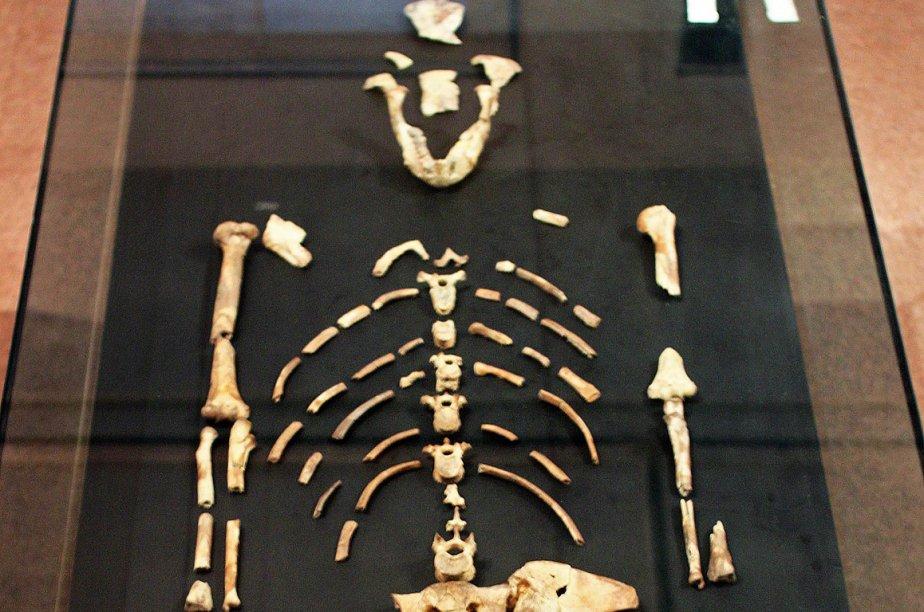 Les australopithèques comme la fameuse Lucy (photo) ont... (Photo AFP)