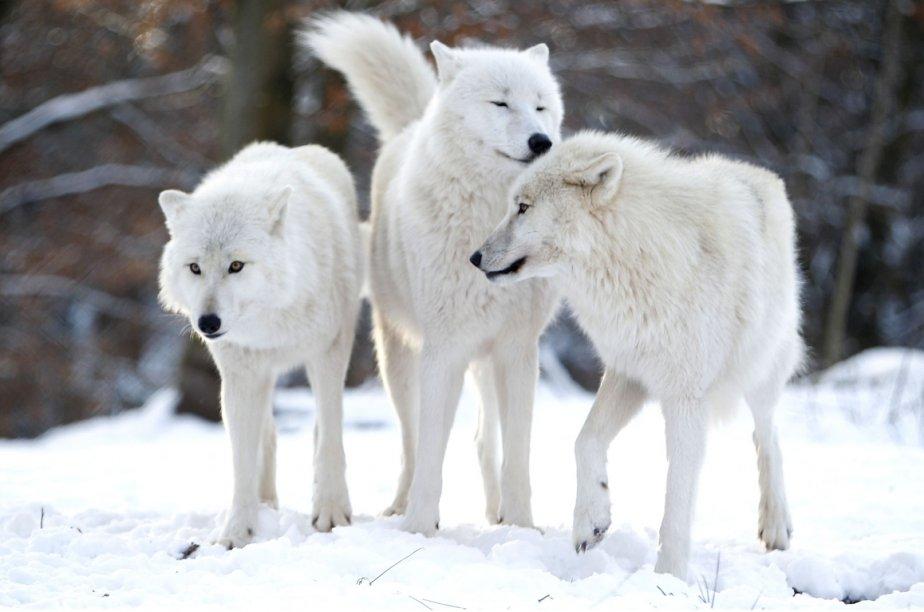 Le loup est classé en Finlande comme une... (Photo archives AFP)