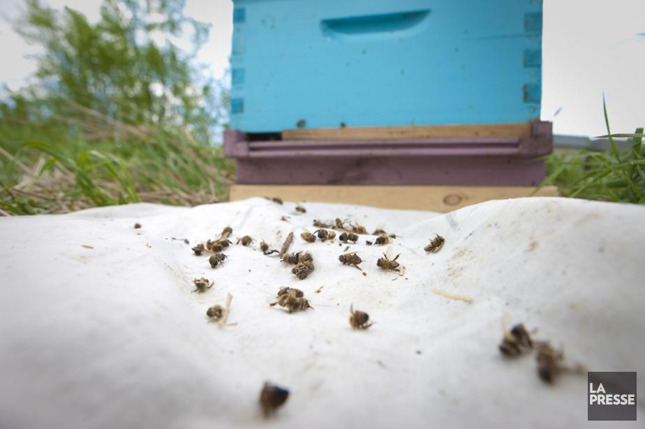 Des pesticides menacent la survie des abeilles.... (PHOTO ANDRÉ PICHETTE, ARCHIVES LA PRESSE)