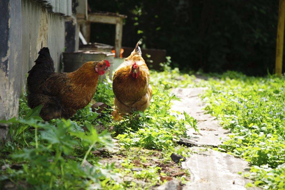 Aux États-Unis, la location de poules a la... (PHOTOTHÈQUE LA PRESSE)