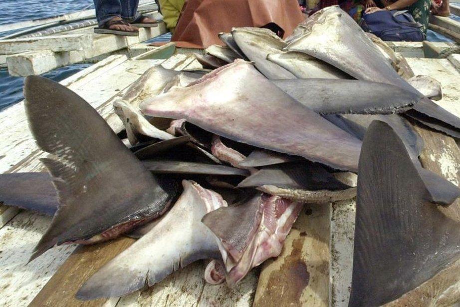 Les ailerons de requin sont vendus très cher... (PHOTO JAY DIRECTO, AFP)