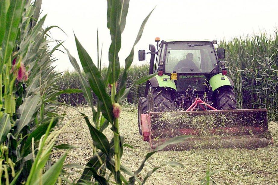 Certains agriculteurs américains pourraient être forcés de détruire... (PHOTO FRANCESCO DEL BO, AFP)