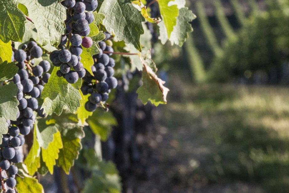 Vignoble de la vallée de l'Okanagan.... (PHOTO OLIVIER PONTBRIAND, LA PRESSE)