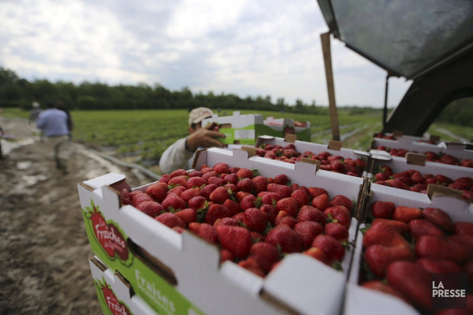 Au Québec, les agriculteurs vendent directement leurs fruits... (Archives La Presse)