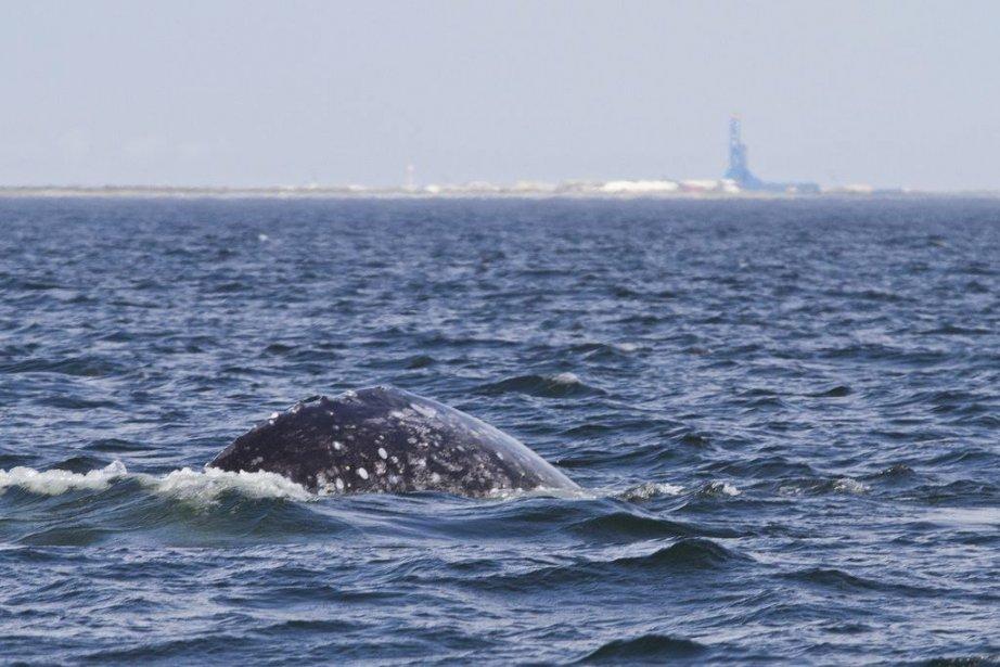 Une telle baleine n'a été aperçue dans les... (PHOTO Archives PC)