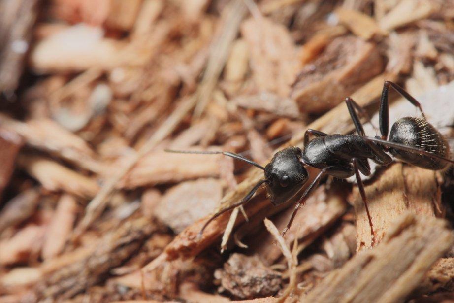 Les fourmis charpentières peuvent se nicher dans bien... (PHOTOTHÈQUE LA PRESSE)