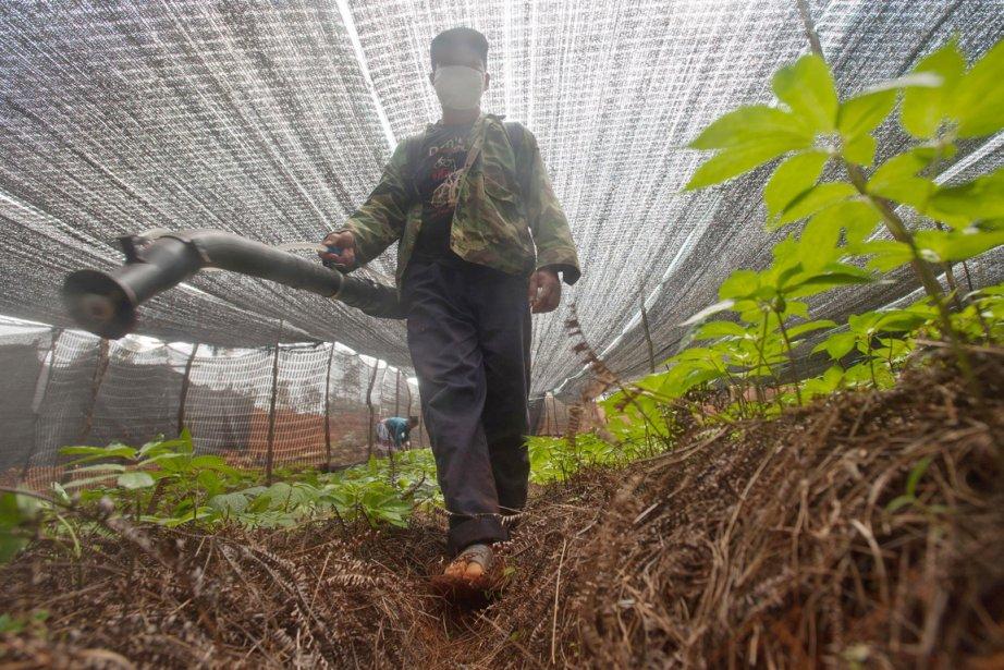 Des résidus de pesticides dans des herbes chinoises