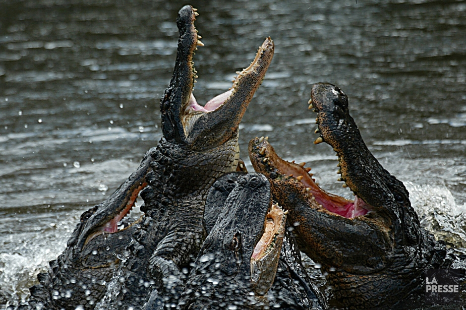Sur la photo, des alligators d'Amérique se disputent... (Photo archives AFP)