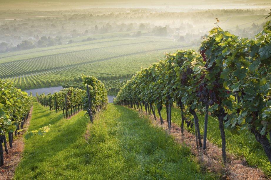 Puisque l'esca se développe dans les vignes âgées... (photos.com)