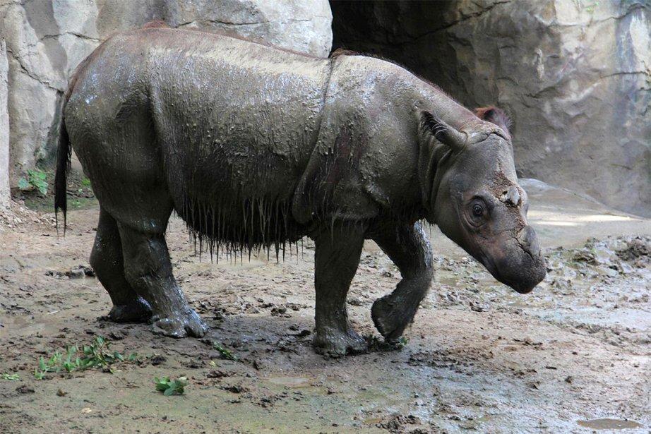Sur cette photo apparaît la femellerhinocéros de Sumatra,... (PHOTO FOURNIE PAR LE ZOO Cincinnati)