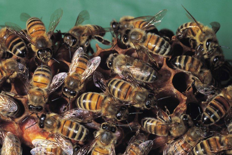 Un essaim d'environ 30000 abeilles a attaqué... (PHOTO FOURNIE PAR PHOTOS.COM)