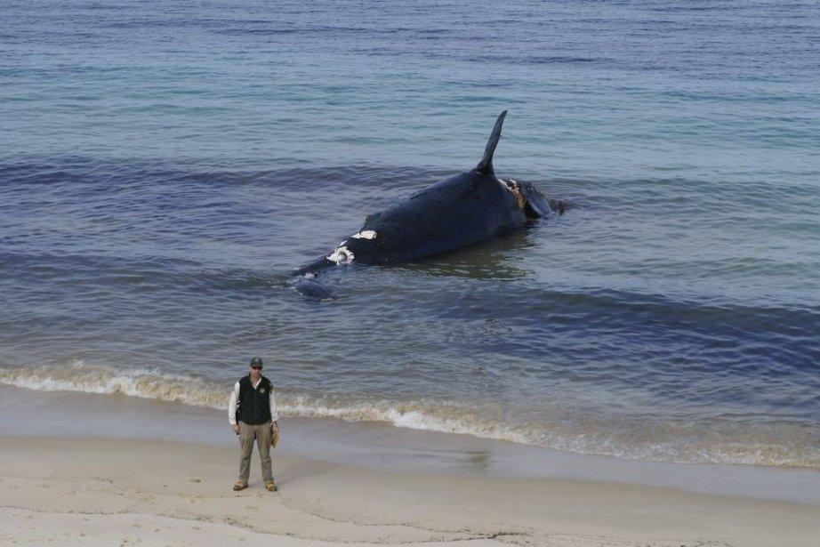 La carcasse de 12 mètres de long et... (Photo AFP)