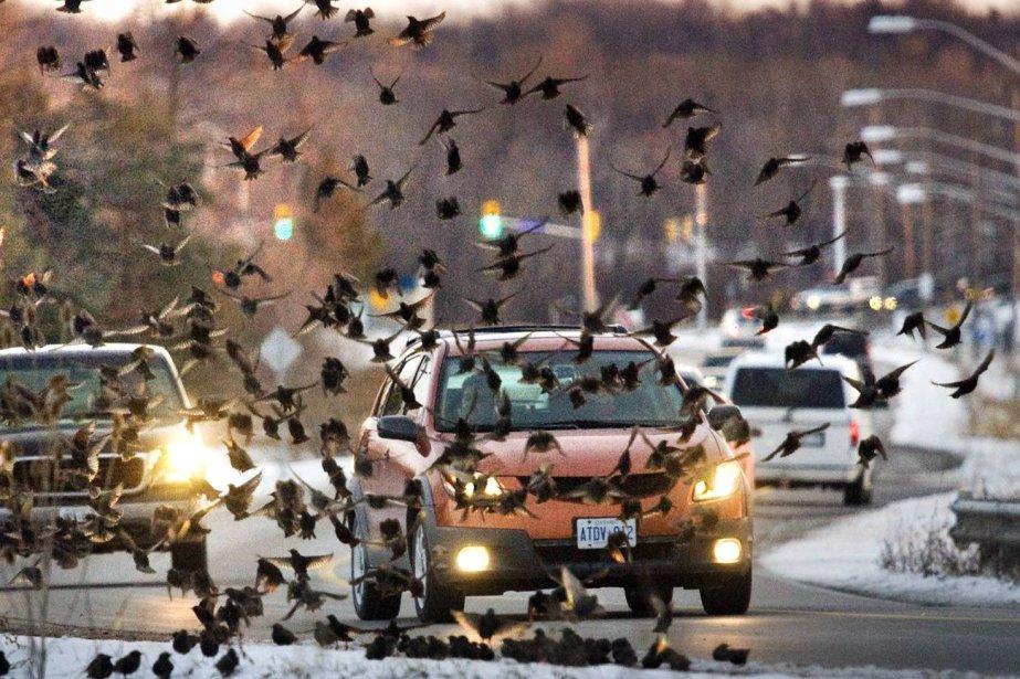 Les chercheurs ont conclu que «les oiseaux ne... (Photo Bob Tymczyszyn, PC)