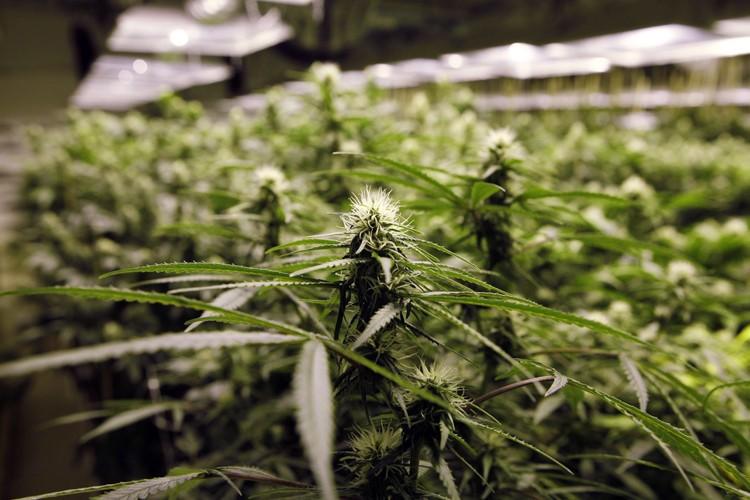 Aux États-Unis, 21 États autorisent l'utilisation du cannabis... (Archives Associated Press)