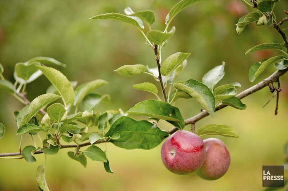 Pommes, gadelles, poires... et même kiwis: beaucoup de fruits peuvent se...